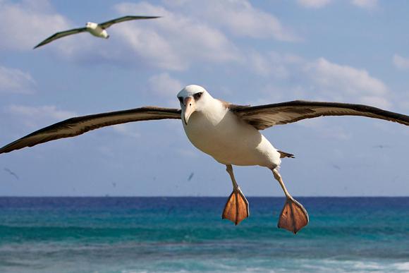 albatross-18
